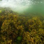 Blåstången i Östersjön riskerar att drabbas hårt av klimatförändringar