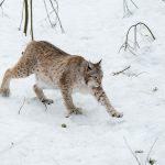 DNA-based identification of Eurasian lynx (Lynx lynx) individuals from snow tracks