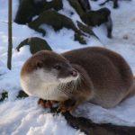 Spår i snön – ny DNA metod för däggdjursinventering
